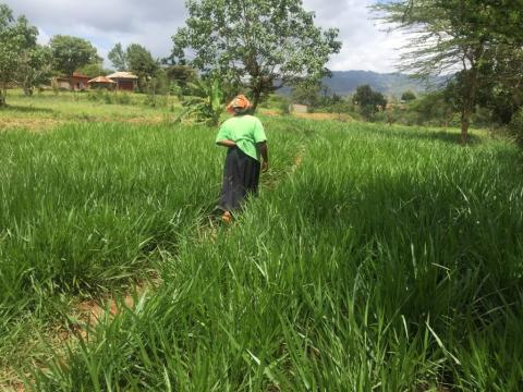 Farmer walking though Brachiaria field (Makueni county, Kenya)