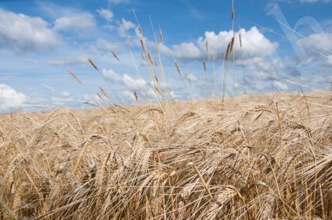 wheat_field4 Creative Commons 2012