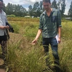 Finger millet from trials investigating response to contrasting fertiliser rates.