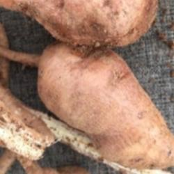 Read more at: Is the African yam bean Nigeria's answer to reducing food insecurity?